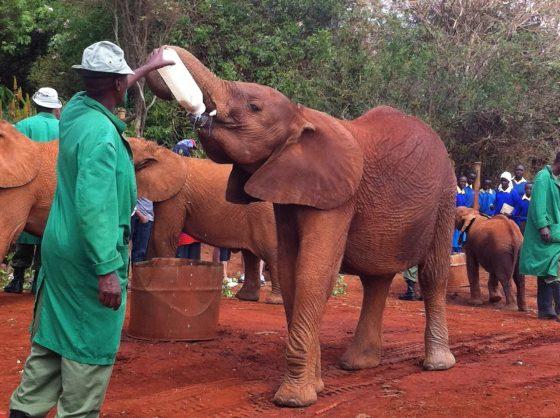 Elefanti in orfanotrofio Kenya